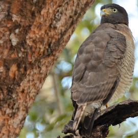 Savannah Hawk, Caiman Lodge, South Pantanal, Brazil by Sheri Fresonke Harper - Animals Birds ( caiman lodge, brazil, south, savannah hawk, bird, tree, sheri fresonke harper, pantanal,  )