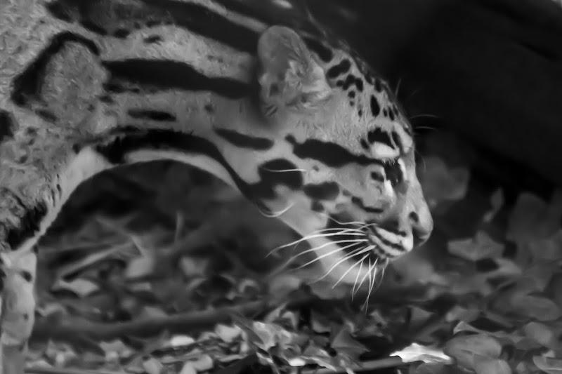 leopardo nebuloso di davide_negro
