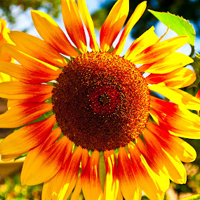by Carlo Resty Sunga - Nature Up Close Flowers - 2011-2013 ( , color, colors, landscape, portrait, object, filter forge, summer, sunflowers, flowers, yellow, garden, seeds )