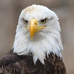 Bald Eagle by Ken Keener - Animals Birds ( bird of prey, eagle, bald eagle, raptor, posing, portrait, magestic )