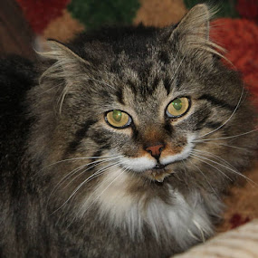 kitty  by Matthew Donathan - Animals - Cats Portraits ( long hair, cat, cannon, tabby, furry,  )