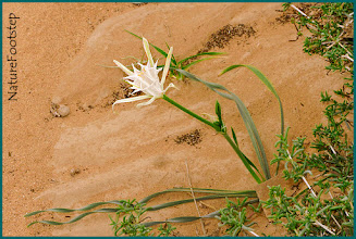 Photo: Crinum lily NF Photo 121117 in Aousard o Oued Jenna, Morocco http://nfbild2.blogspot.se/2013/02/desert-flower-in-western-sahara.html