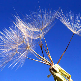 Five seeds by Gaylord Mink - Nature Up Close Other plants ( sky, parachute, seeds, plant )