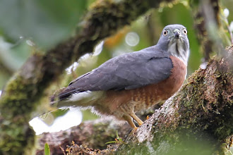 Photo: Double-toothed Kite