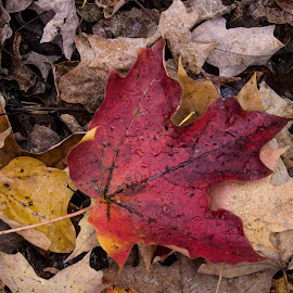 Fall Leaves by Harish Kumar K - Nature Up Close Leaves & Grasses ( red, blue, fall, leaves )