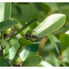 Sphex argentatus 黑細腰蜂