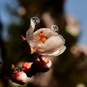 Water droplets on blossoms 133.JPG