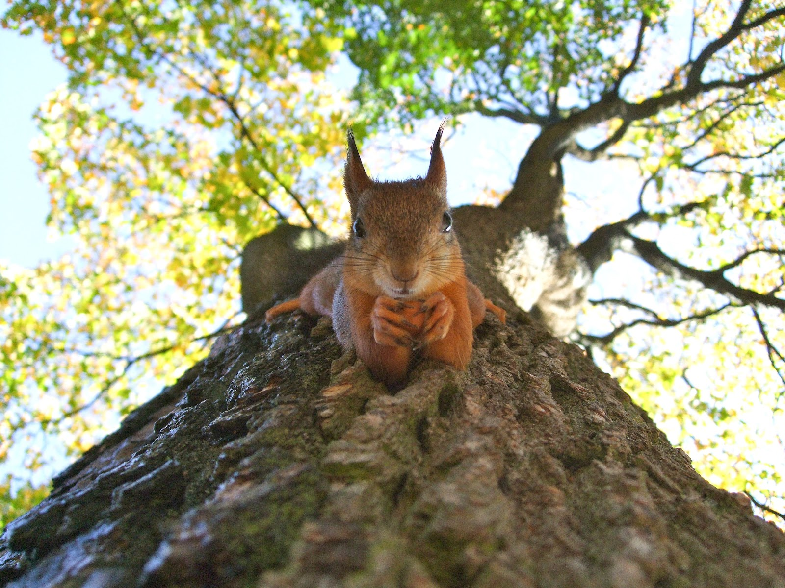 Squirrel on tree trunk looking downward at camera