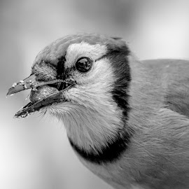 Blue Jay with a Peanut by Debbie Quick - Black & White Animals ( debbie quick, nature, blue jay, songibrd, debs creative images, new york, pleasant valley, bird, animal, black and white, wild, hudson valley, wildlife )