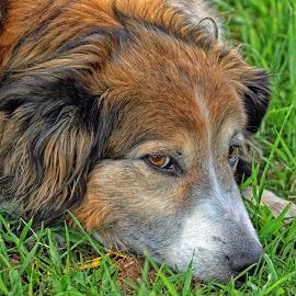 Sage - English Shepherd - 7002 by Twin Wranglers Baker - Animals - Dogs Portraits (  )