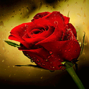 download Rain Drop Rose LWP apk