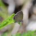 Plains Cupid or Cycad Blue