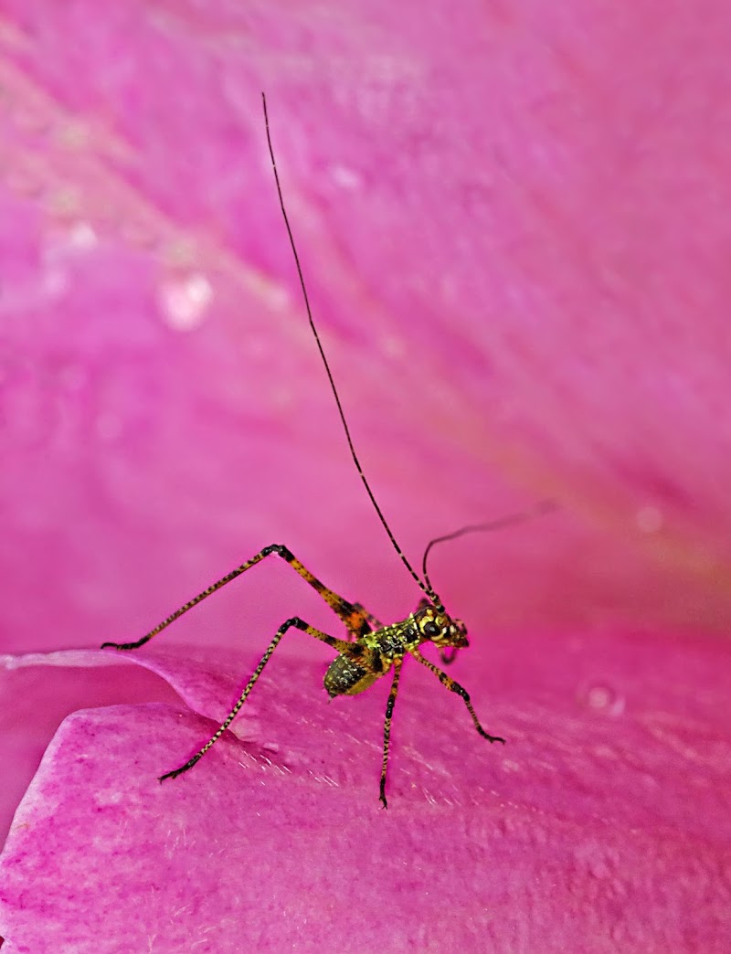 Il grillo sul petalo di rosa di Patrix
