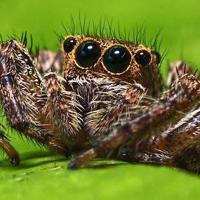 jumping spider by Hafiz Hj Ismail - Animals Insects & Spiders ( macro, nature, jumping spider, insect, animal )