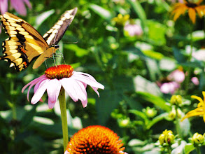 Photo: Black and yellow butterfly feeding on a flower in Cox Arboretum in Dayton, Ohio.