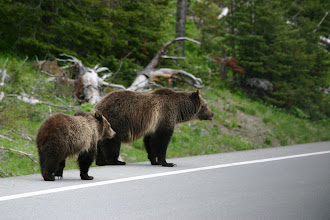 Photo: Grizzly bear mama with cub -Yellowstone National Park, Wyoming