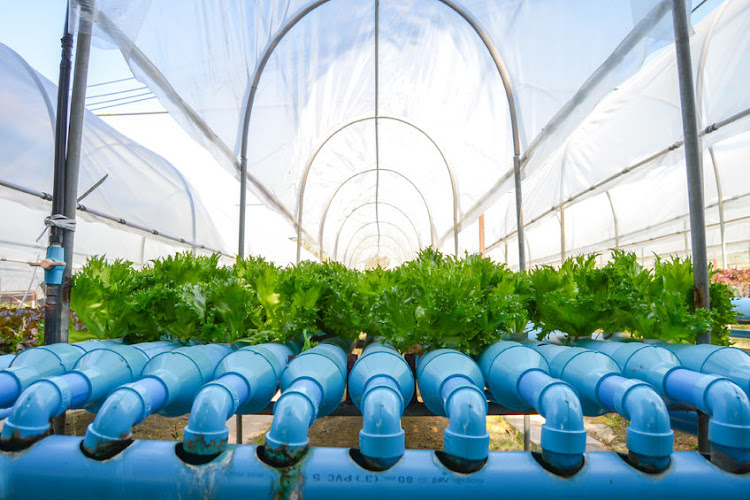 Growing salad leaves using hydroponic technology. Picture: 123RF/GOLF66