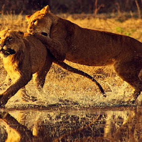 Greedy Lions by Arslan Mughal - Animals Lions, Tigers & Big Cats ( animals in motion, pwc76, motion, animal )