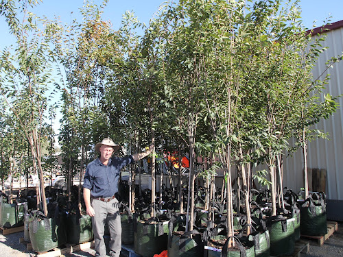 Narrabri Shire Council parks manager Evan Harris with 37 Zelkova street trees destined for Maitland Street.
