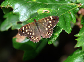 Photo: Speckled Wood