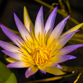 by Ms Lyons Photography - Flowers Single Flower ( pond flower, purple,  )