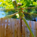 Green Darner (female)