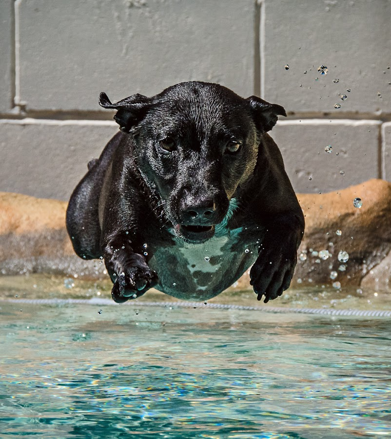 Annies Addiction by Daryl James - Animals - Dogs Running ( water, annie lyon home chair, pool, action, dog, #GARYFONGPETS, #SHOWUSYOURPETS,  )