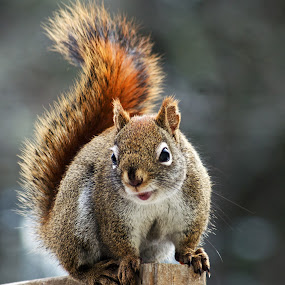 Red Squirrel Head-On by Jeff Galbraith - Animals Other Mammals ( fence, wooden, red, furry, cute, rodent, close-up, squirrel )