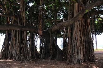 Photo: Banyan tree (near Waikiki beach).