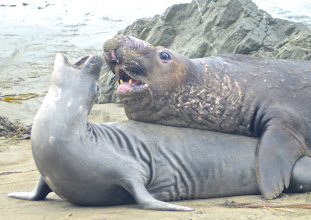 Photo: 197. What strange looking creatures! For more info, here's a useful site ... http://www.bigsurcalifornia.org/elephant-seals.html