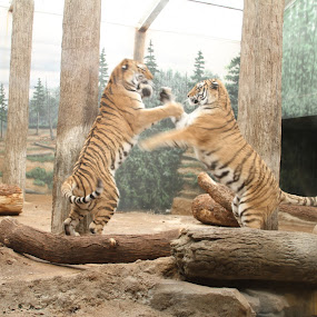 Cat Fight by Bill Givens - Animals Lions, Tigers & Big Cats ( amateur, fighting, zoo, animals, big cats, tigers,  )