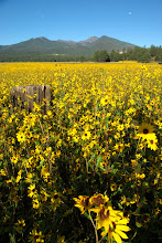 Photo: Sunflowers, San Francisco Mountain, Arizona, USA