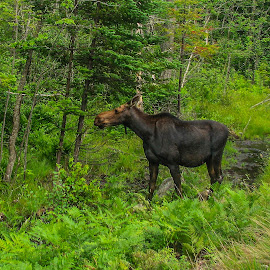 The Moose by Bob Minnie - Animals Other Mammals