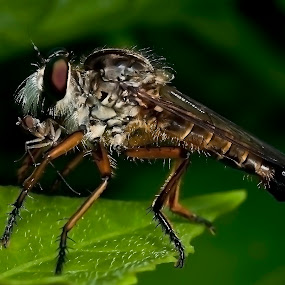 Robber Fly by Madihi Ata - Animals Insects & Spiders