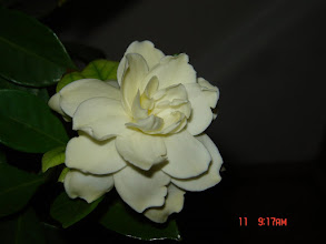 Photo: Indoor Gardenia, smells so good...