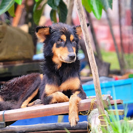 dog in rain by Donna Racheal - Animals - Dogs Portraits ( wet dog, sri lanka, street dog, animal, raining, dog in rain )