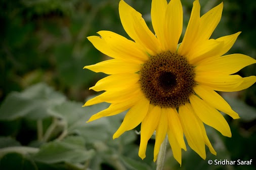 Sunflower filed at Clear Meadow Farm, Maryland (USA)  #SunflowerFiled #Sunflower #SunflowerPhotography...