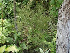 "Photo: Dryopteris ""Lineaaris Polydactyla"""