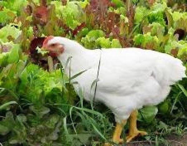 Chickens Are In The Garden Again Casserole Recipe