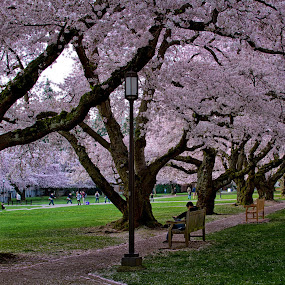 Park in Spring by Mike Trahan - City,  Street & Park  City Parks ( fall leaves on ground, washington, fall leaves, university of washington, benches, flower, cherry blossoms )