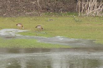 Photo: Egyptian Goose (Nilgans); Moritzburg, DE