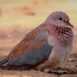 Laughing dove by Roedie Zandberg - Animals Birds ( dove, feathers, bird photography, bird, birds,  )