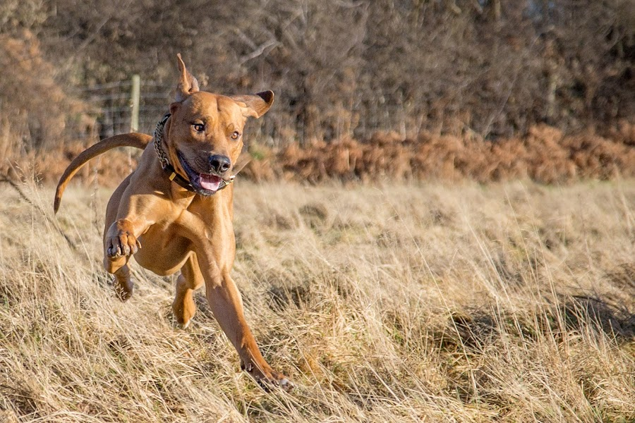 Running with joy by Linda Johnstone - Animals - Dogs Running ( ridgeback, rhodesian ridgeback, walking, dogs, happy, brown dog, sunshine, running )