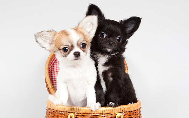 Chihuahua Themes & New Tab