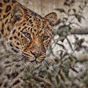 Leopard by Stephen Davis - Animals Lions, Tigers & Big Cats (  )