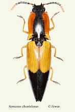 Photo: Semiotus chontalenus, 14,5 mm, Costa Rica, Corcovado NP, Sirena (08°28´/-83°35´), leg. Erwin Holzer, det. Peter Cate