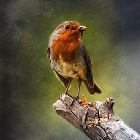 Early Bird by CLINT HUDSON - Animals Birds ( bird, robin, worm, robin red breast, garden bird )