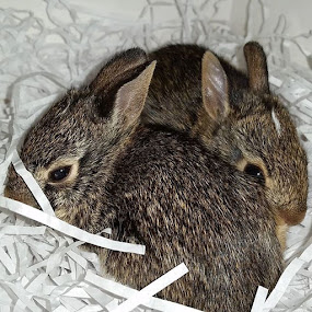 Bunnies by Christy Leigh - Animals Other ( bunny, rabbits, cotton tail, bunnies )