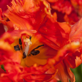 Flames by Craig Pifer - Nature Up Close Flowers - 2011-2013 ( oregon, tulips, flower, fire, flame, wooden shoe tulip farm )
