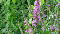 Photo: Răchitan ( Lythrum salicaria) - de pe Str. Gelu, pe malul la Parul Racilor - 2017.07.01